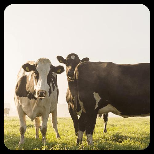 Kühe und Rinder