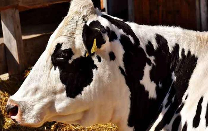 Kuh Holstein